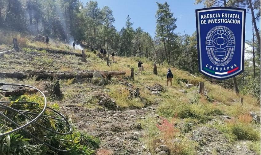Destruye AEI campamento y casi 2 toneladas de mariguana en el Arroyo del Macho, en Carichí